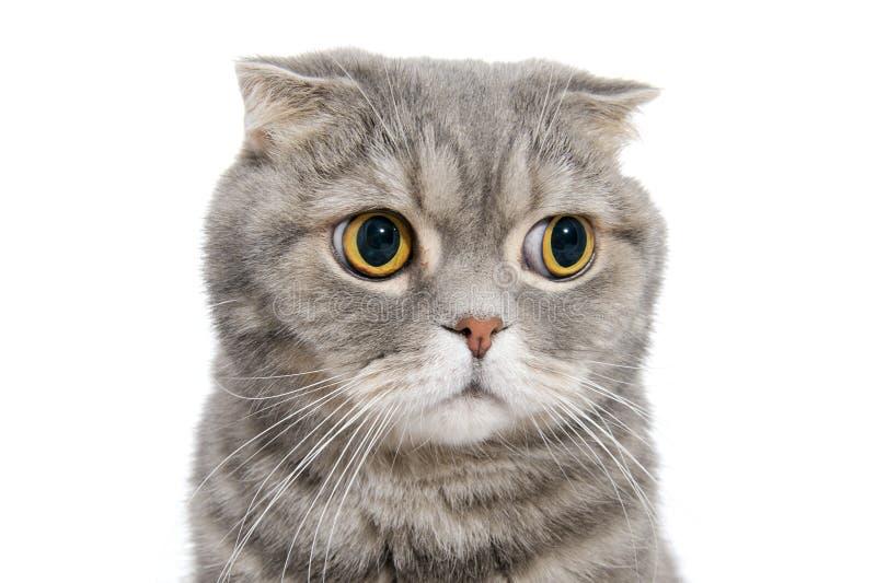 Retrato del primer del gato del doblez del escocés de la raza imagen de archivo