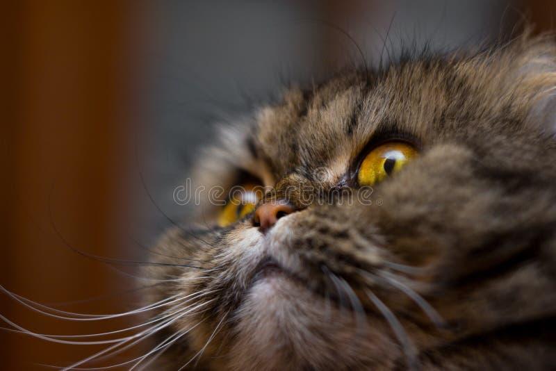 Retrato del primer del gato scotish británico lindo de la raza, gris con los ojos anaranjados, mirando para arriba fotografía de archivo libre de regalías