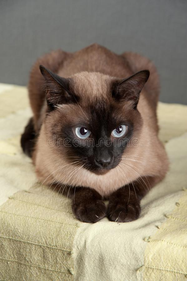 Retrato del primer del gato siamés foto de archivo