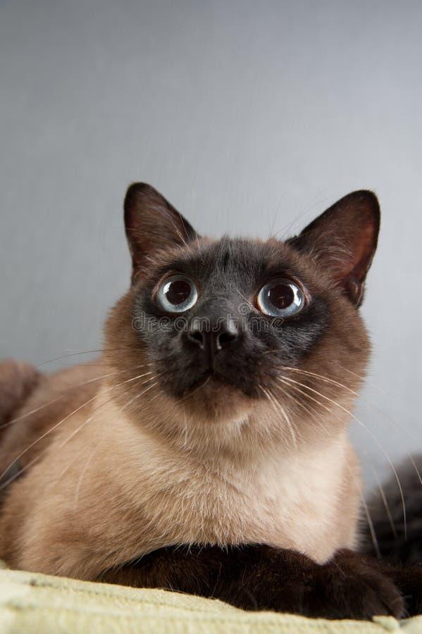 Retrato del primer del gato siamés imagen de archivo