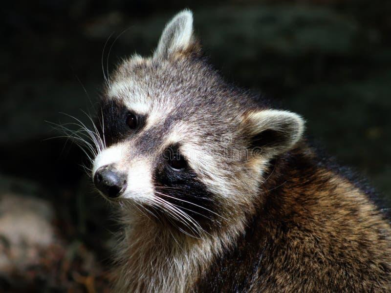 Retrato del primer del mapache con el ` de la máscara del ` s del bandido del ` imagenes de archivo