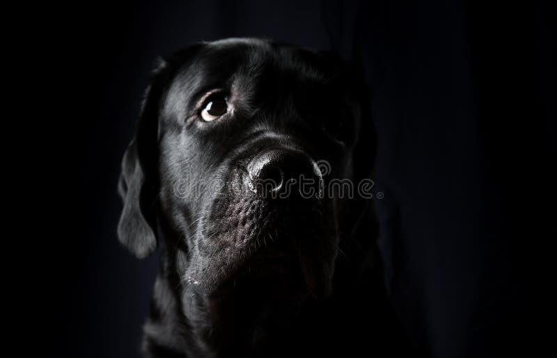 Retrato del primer del perro de Labrador foto de archivo libre de regalías