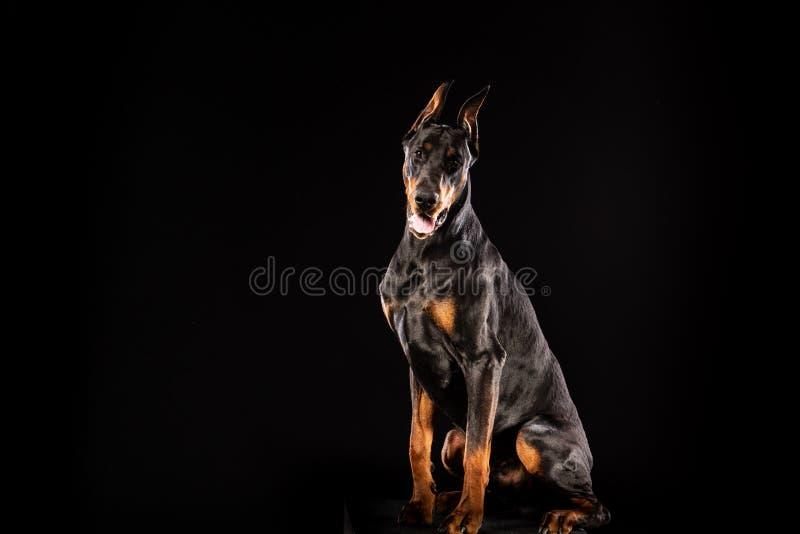 Retrato del primer del perro del Pinscher del Doberman que mira in camera en fondo negro foto de archivo libre de regalías