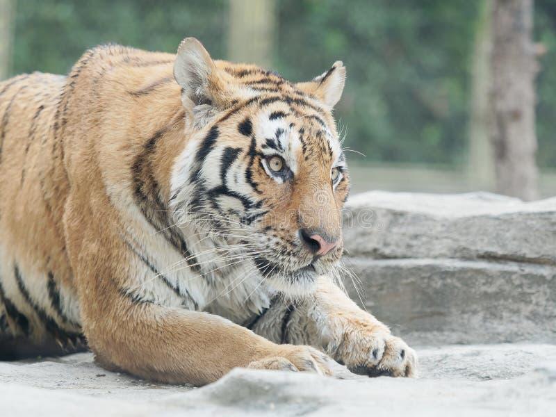 Retrato del primer del tigre de Bengala salvaje foto de archivo libre de regalías