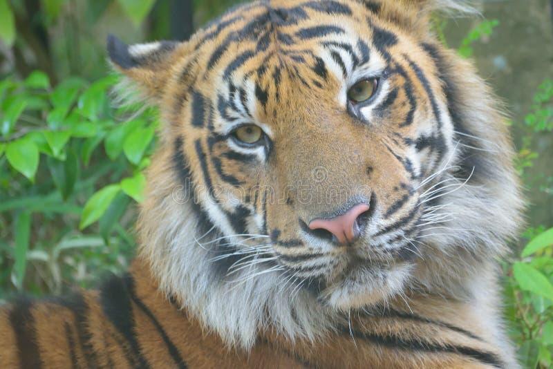 Retrato del primer del tigre de Sumatra fotos de archivo libres de regalías