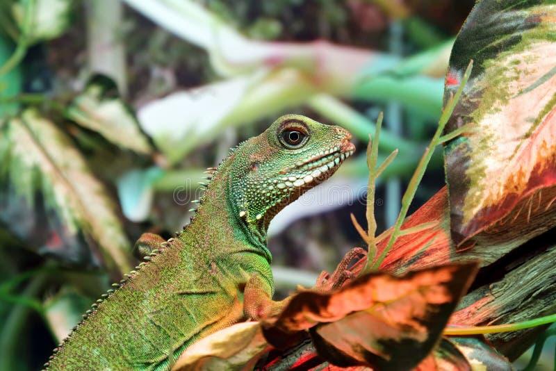 Retrato del primer verde de la iguana fotografía de archivo