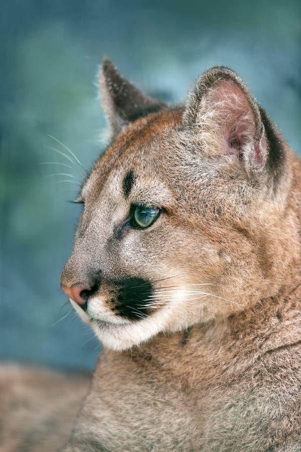 Retrato del puma con los ojos hermosos foto de archivo