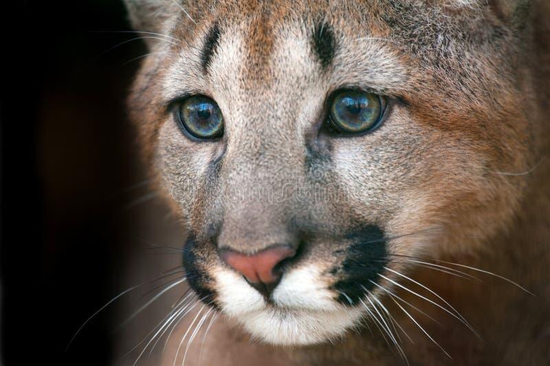 Retrato del puma con los ojos hermosos fotos de archivo
