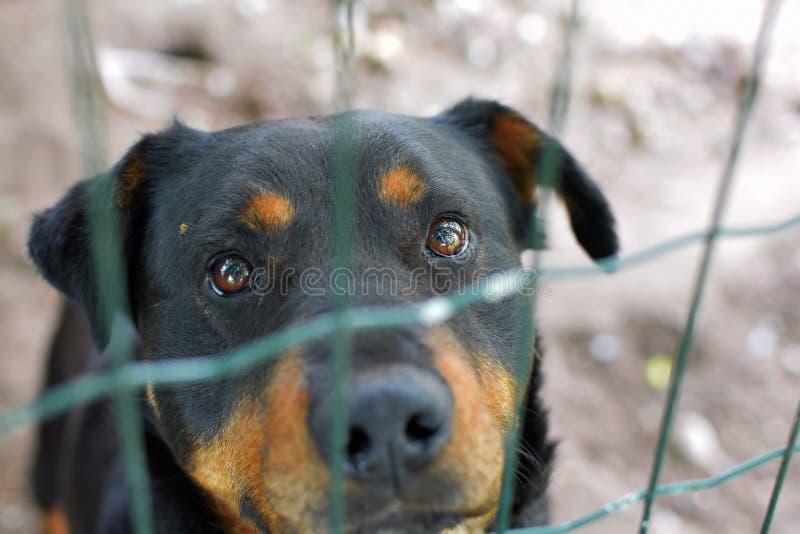 Retrato del rottweiler triste detrás de la cerca foto de archivo libre de regalías