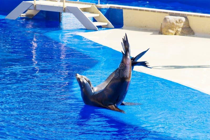 Retrato del sello marino que se besa cerca de piscina de agua foto de archivo libre de regalías