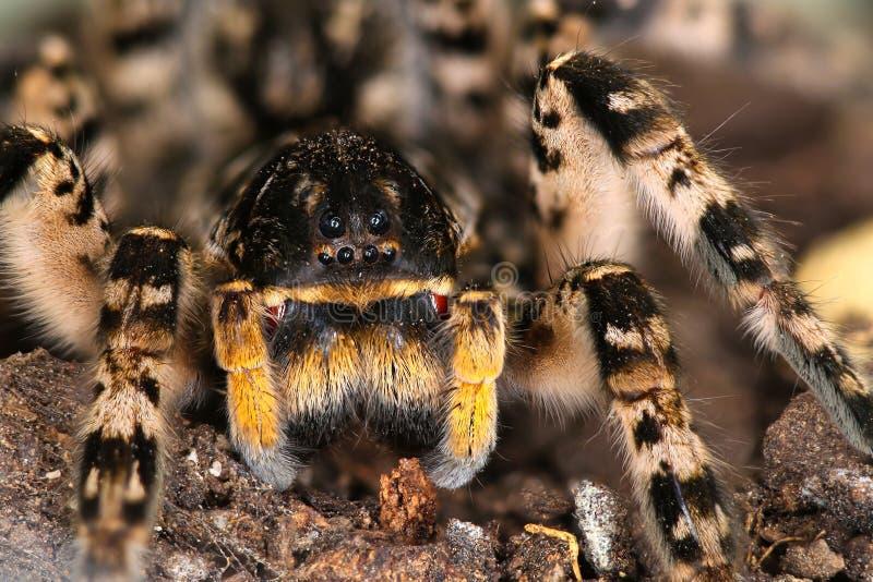 Retrato del singoriensis espeluznante peligroso del Lycosa de la especie de la tarántula de la araña de lobo imagen de archivo libre de regalías