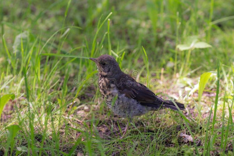 Retrato del snowbird del polluelo foto de archivo libre de regalías