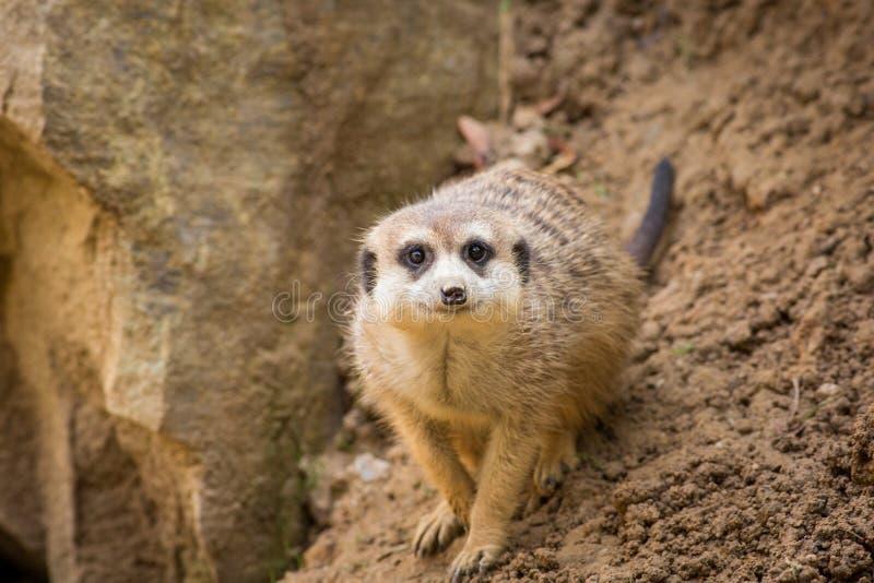 Retrato del suricatta del Suricata de Meerkat imagen de archivo