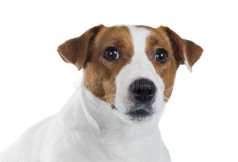Retrato del terrier de Gato Russell fotografía de archivo libre de regalías