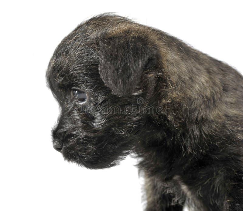 Retrato del terrier de mojón del perrito en un estudio blanco fotos de archivo libres de regalías
