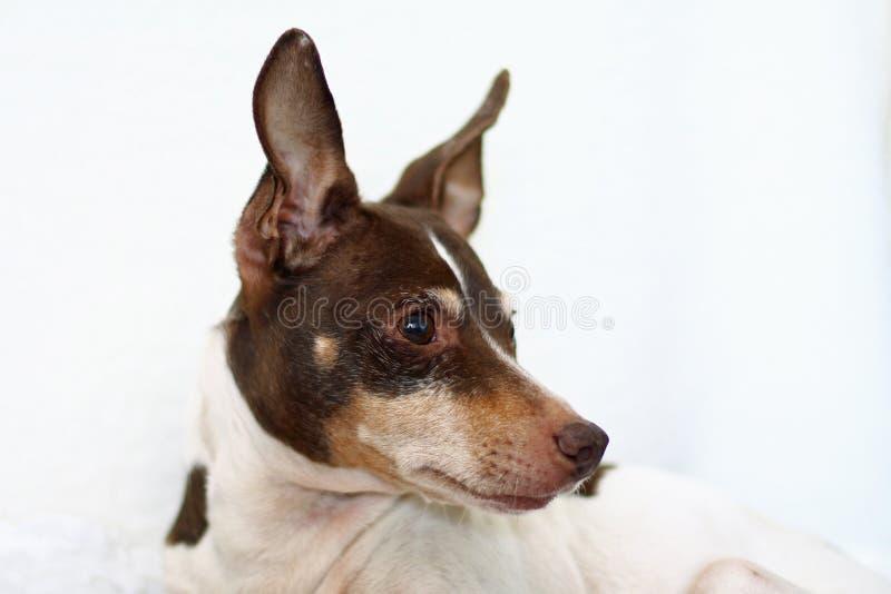 Retrato del terrier de rata tricolor fotografía de archivo