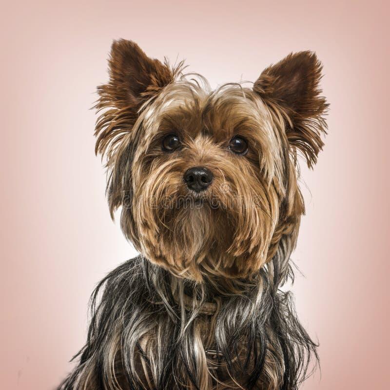 Retrato del terrier de Yorkshire contra fondo rosado imágenes de archivo libres de regalías