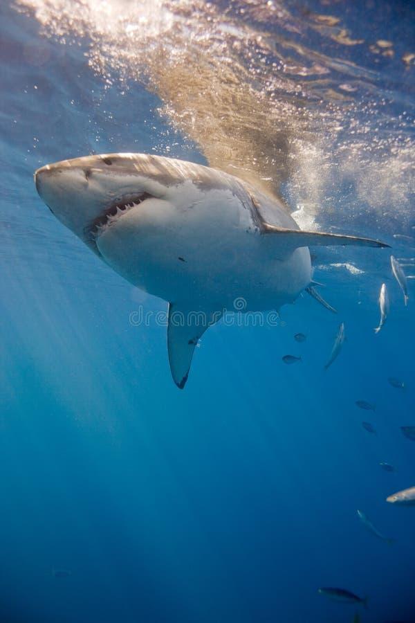 Retrato del tiburón blanco fotografía de archivo libre de regalías