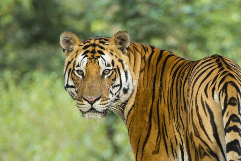 Retrato del tigre de Bengala salvaje foto de archivo
