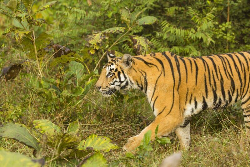 Retrato del tigre de Bengala salvaje en selva abierta fotos de archivo libres de regalías