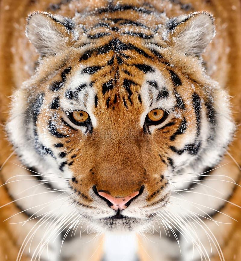 Retrato del tigre en diente del invierno imagenes de archivo