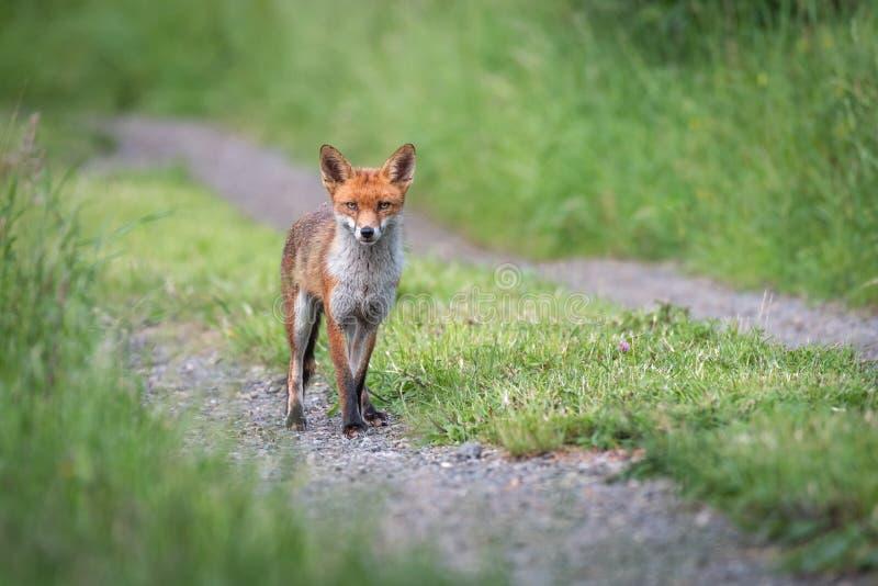 Retrato del zorro rojo en alrededores naturales imagen de archivo libre de regalías