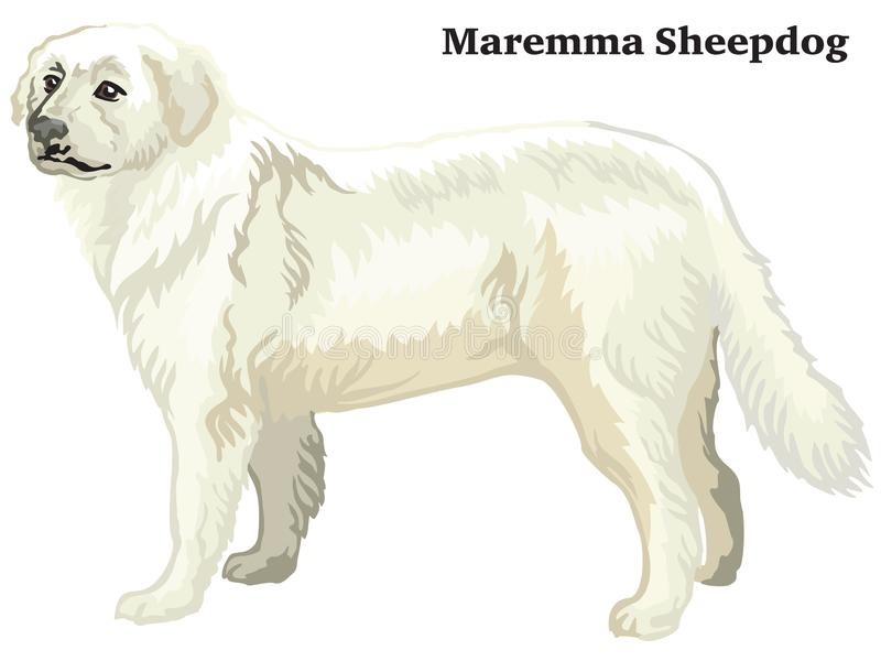 Retrato derecho decorativo coloreado del ejemplo del vector del perro pastor de Maremma ilustración del vector