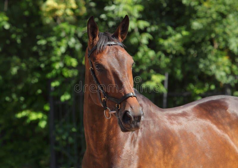 Retrato desportivo do cavalo do adestramento em exterior imagens de stock