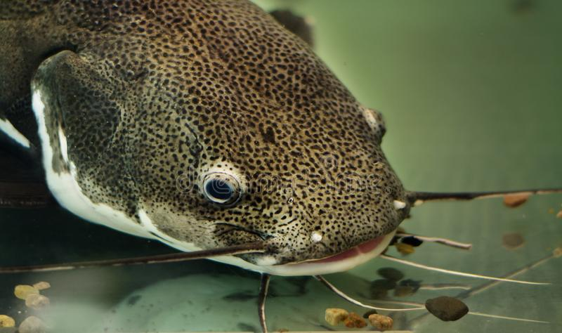 Retrato detalhado de um peixe-gato debaixo d'água com bigode fotografia de stock