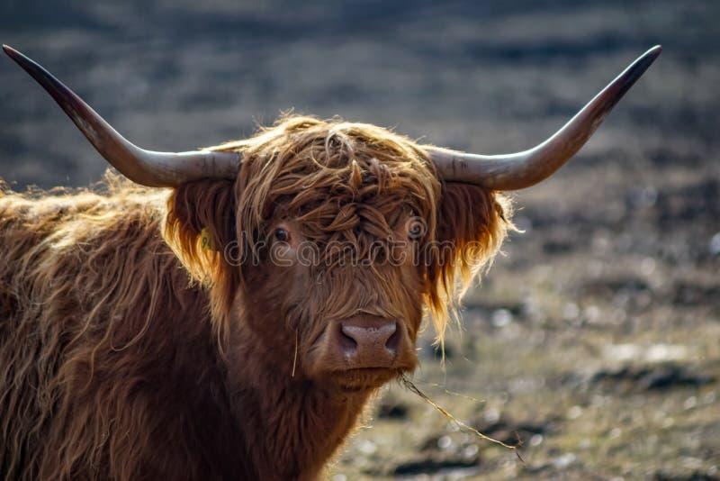 Retrato detalhado do gado escocês de umas montanhas fotografia de stock royalty free