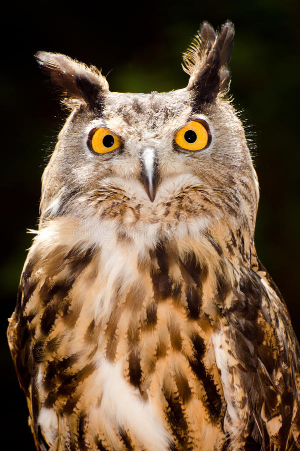 Retrato dianteiro da coruja de águia euro-asiática fotos de stock