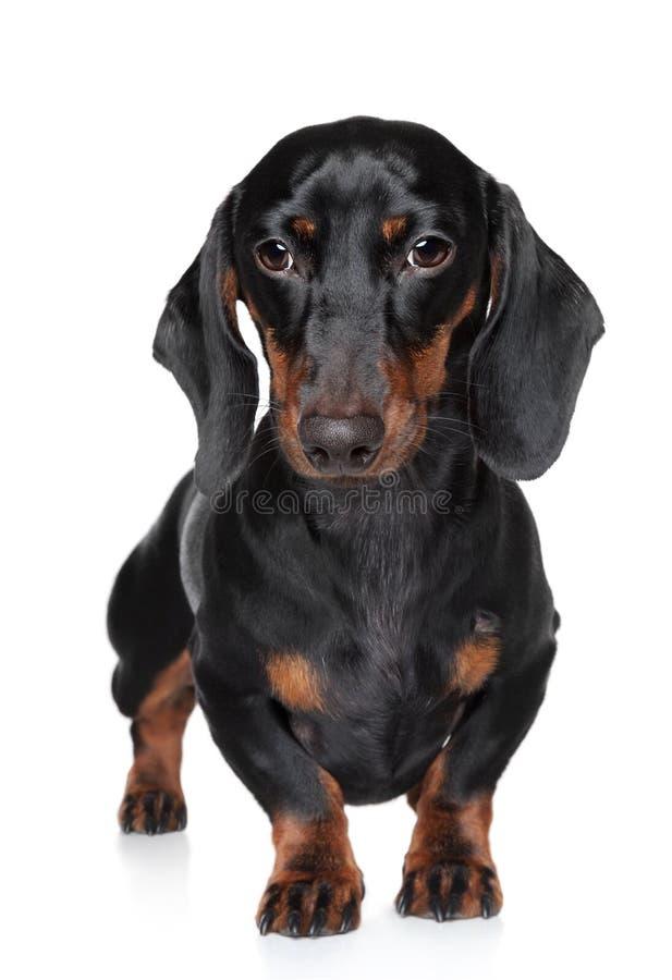 Retrato diminuto do close-up do dachshund imagens de stock