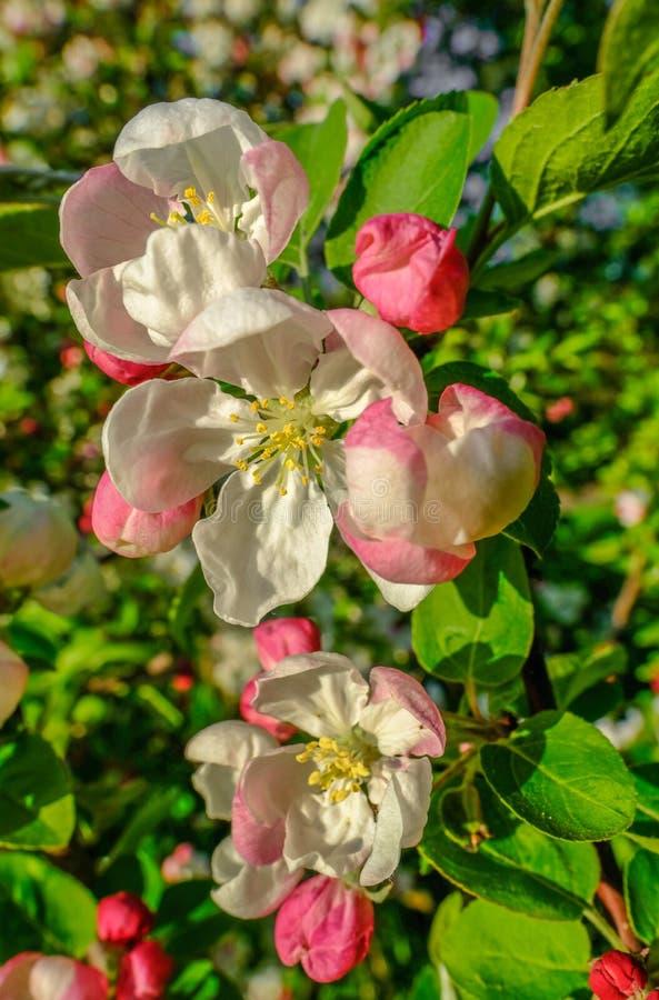 Retrato disparado da flor de cerejeira na mola em Inglaterra fotos de stock royalty free