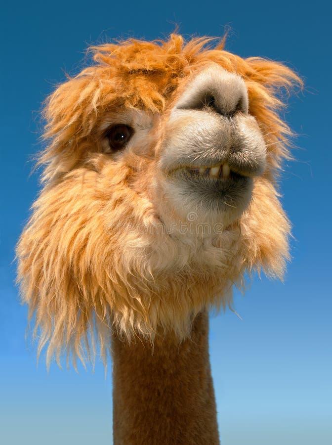 Retrato divertido de los dientes de la alpaca del lama fotografía de archivo libre de regalías