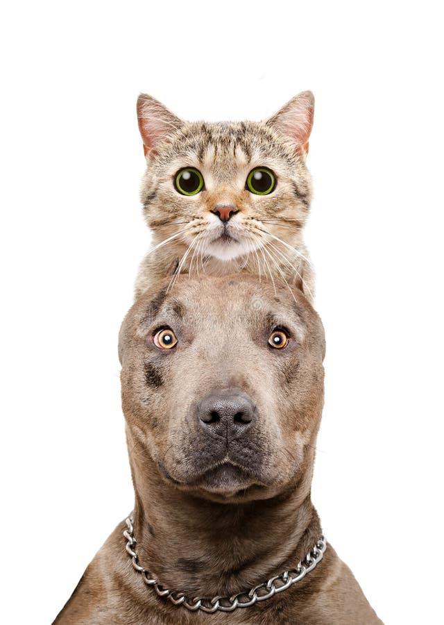 Retrato divertido de un pitbull con un gato en la cabeza foto de archivo