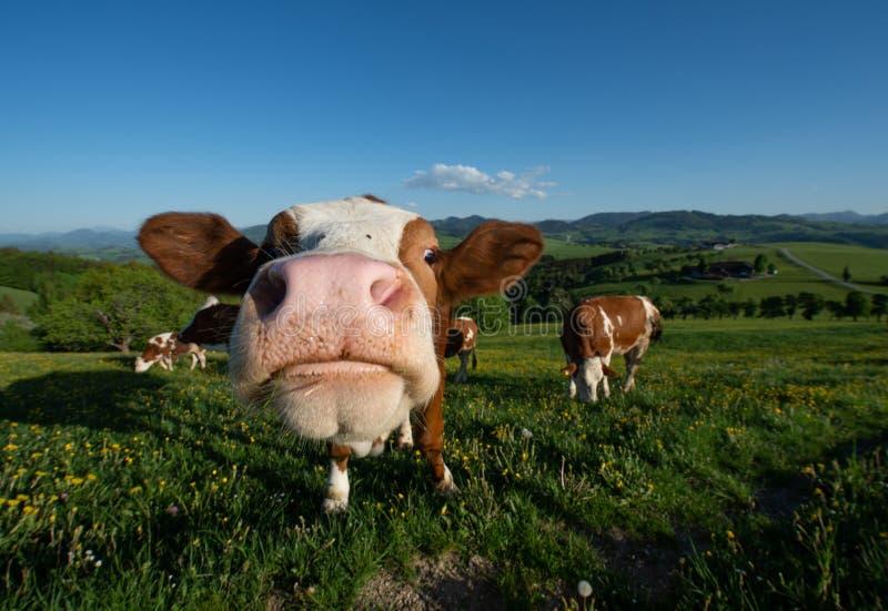 Retrato divertido de una vaca en el pasto en el paisaje austríaco de Mostviertel que mira curiosamente en la cámara imagen de archivo libre de regalías