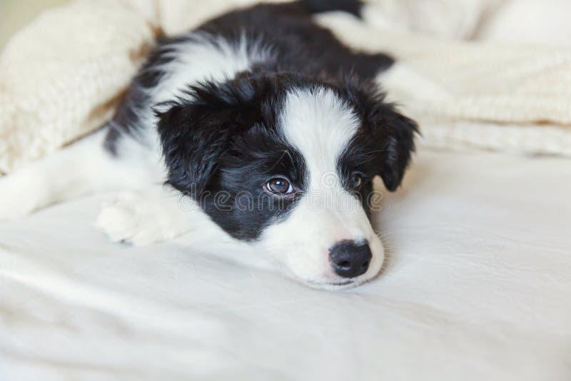 Retrato divertido del border collie smilling lindo del perro de perrito en cama en casa imagen de archivo libre de regalías