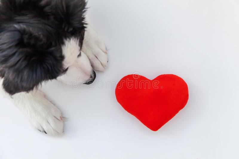 Retrato divertido del estudio del border collie smilling lindo del perro de perrito con el corazón rojo aislado en el fondo blanc foto de archivo
