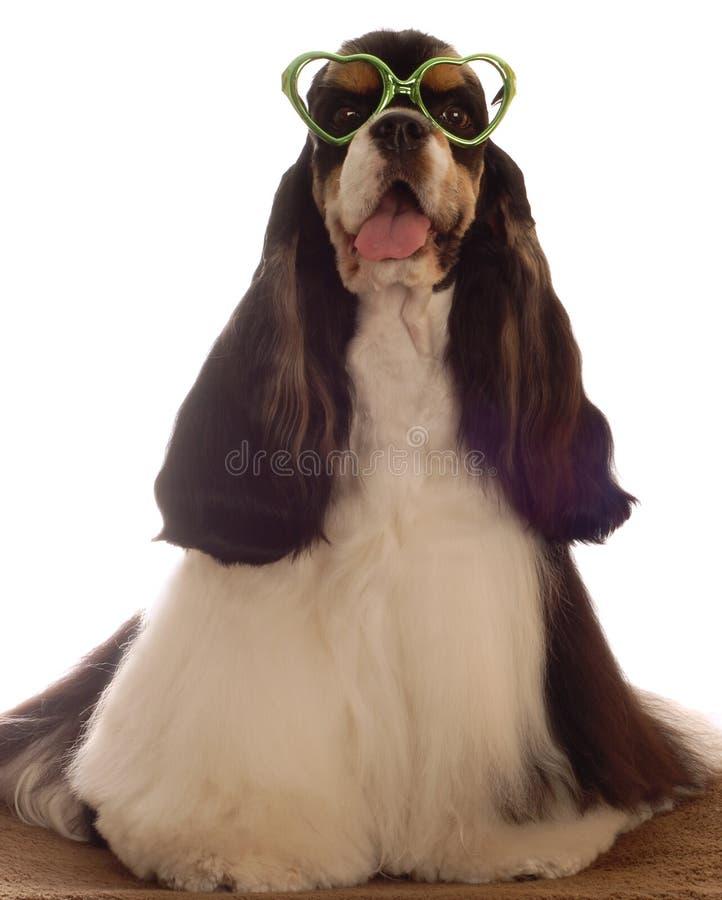 Retrato divertido del perro de aguas de cocker imágenes de archivo libres de regalías