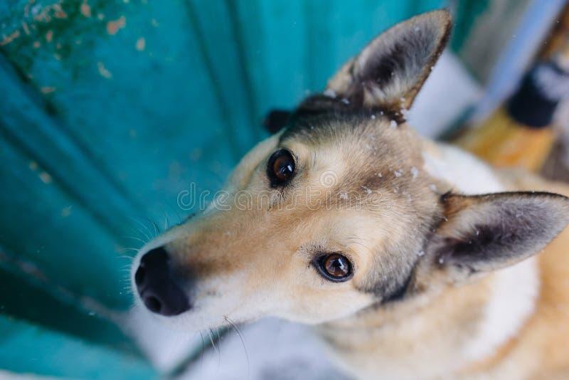 Retrato divertido del perro de Laika del siberiano del oeste imagen de archivo
