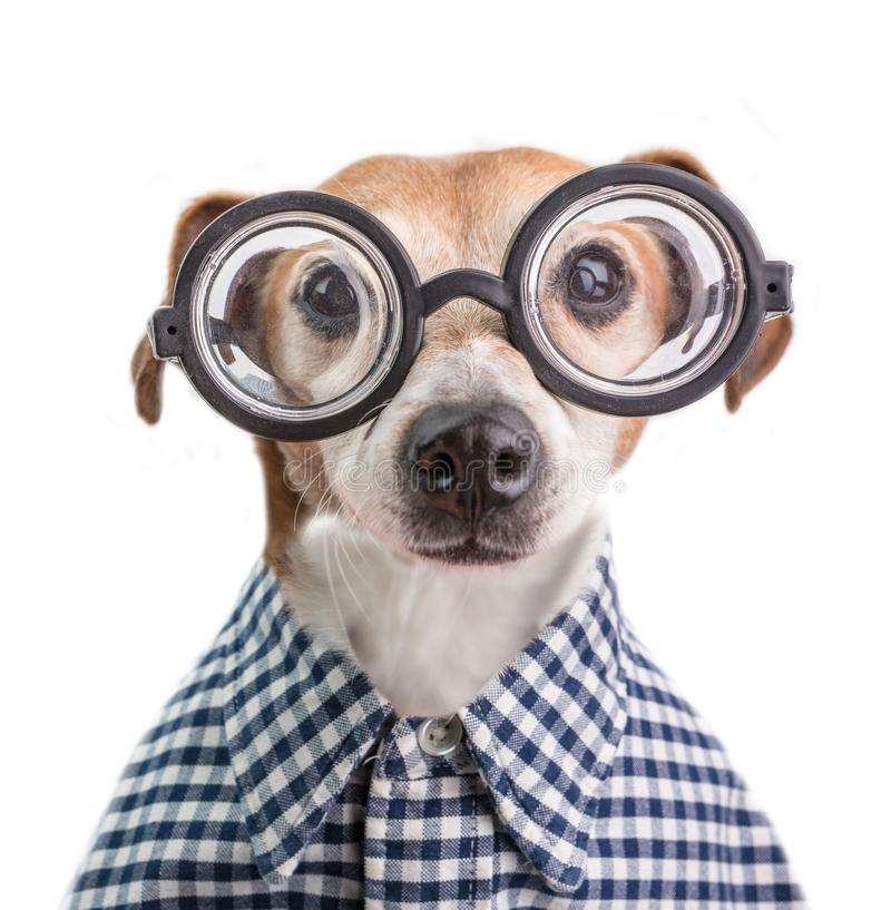 Retrato divertido del perro del empollón en vidrios redondos y camisa a cuadros Fondo blanco foto de archivo
