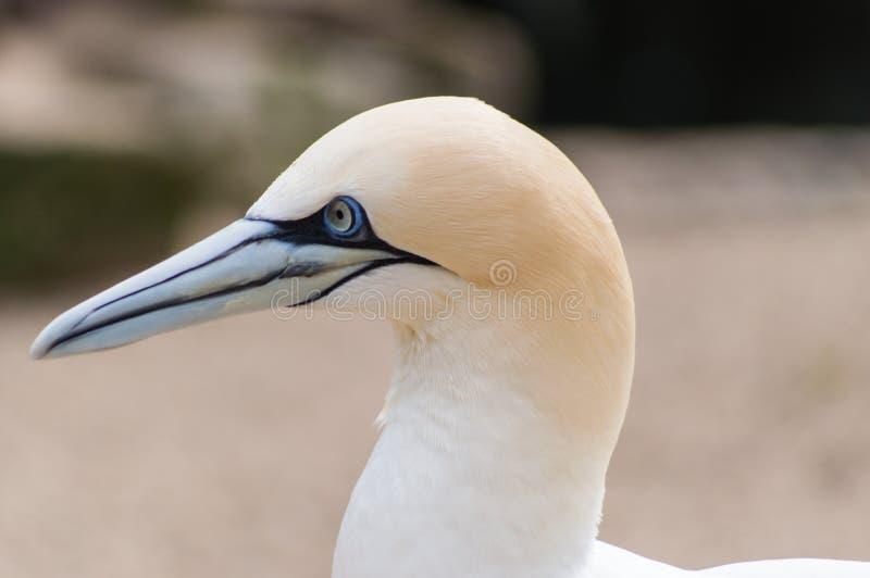 Retrato do albatroz fotografia de stock