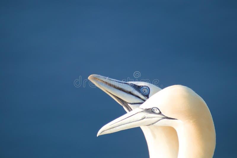 Retrato do albatroz dois do norte imagens de stock royalty free