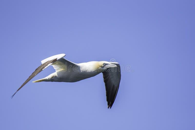 Retrato do albatroz em voo fotos de stock