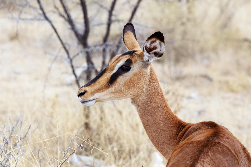 Retrato do antílope da impala foto de stock