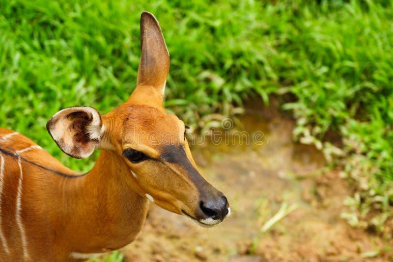 Retrato do antílope vagueando livre da impala no khaokheow aberto fotografia de stock royalty free