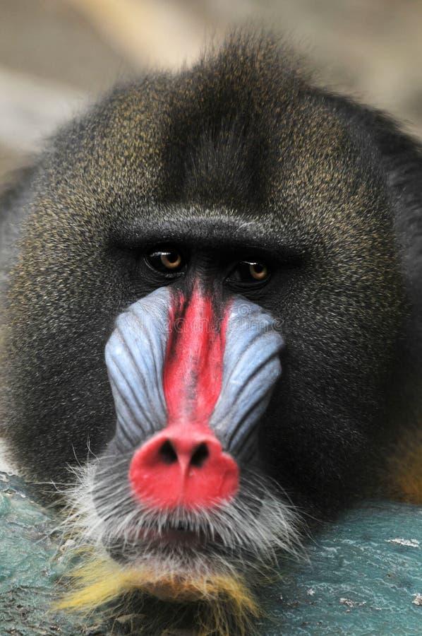 Retrato do babuíno imagens de stock royalty free