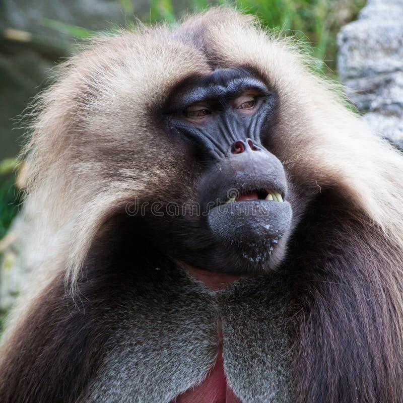 Retrato do babuíno de Gelada imagens de stock royalty free