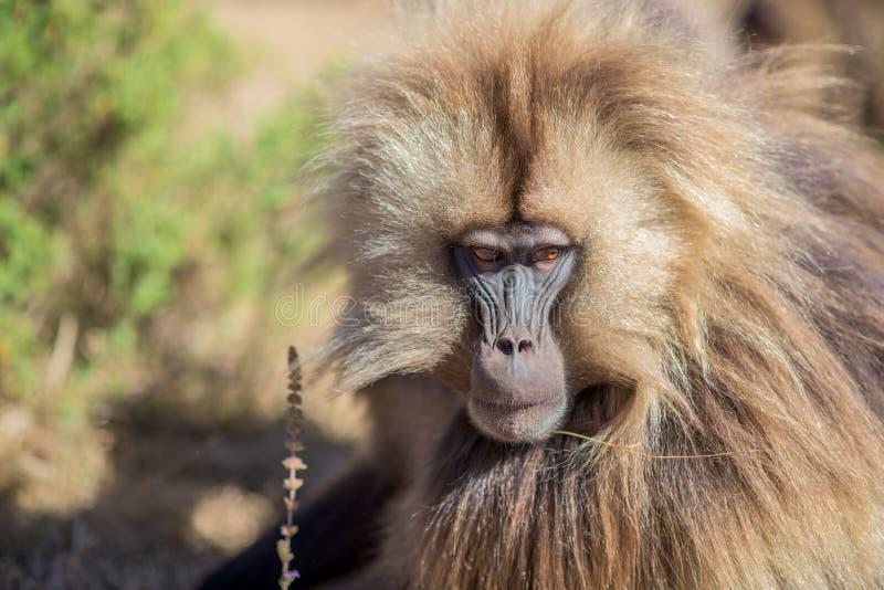 Retrato do babuíno do gelada foto de stock