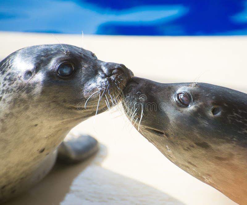 Retrato do beijo marinho do selo imagem de stock